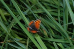 Common Copper (Lycaena phlaeas)